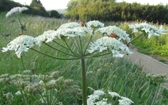 giant hogweed by sarah west