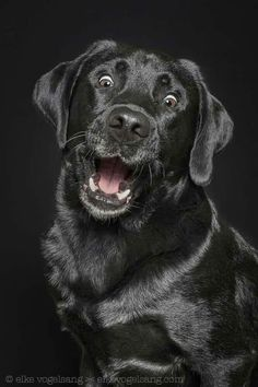Mind Blowing Facts About Labrador Retrievers And Ideas. Amazing Facts About Labrador Retrievers And Ideas. Funny Dogs, Cute Dogs, Funny Animals, Cute Animals, Animals Dog, Black Lab Puppies, Dogs And Puppies, Doggies, Perro Labrador Retriever