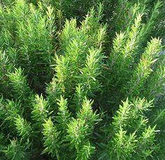 Rosmarino, Rosmarinus officinalis, Erbe medicinali, Piante medicinali