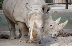 Two-Headed Rhino