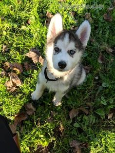Browse puppies for sale adverts in our pet finder directory. Start searching your dream puppy here by dog breed and location. is one of the most popular pet advertising sites for pet for sale. Husky Puppies For Sale, Aussie Puppies, Siberian Husky Puppies, Collie Puppies, Husky Mix, Rottweiler Puppies, Husky Puppy, Cute Puppies, Cute Dogs