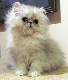 Silver Persian Kitten. So Adorable