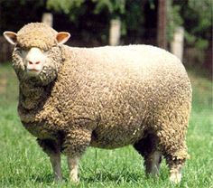 Merinos are regarded as having some of the finest and softest wool of any sheep.