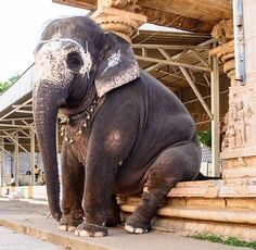 Such a sad sight !!  Look at the wire around his front feet !!! Do people not see this ?  My heart is breaking x Elephants belong in the wild  Where they can roam free with other elephants ❤️