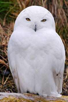 Snowy owl-can I have one? Owl Photos, Owl Pictures, Exotic Birds, Colorful Birds, Beautiful Owl, Animals Beautiful, Owl Bird, Pet Birds, Animals Images