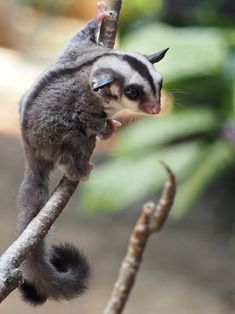 Would you like to know what a sugar glider is eating? Find interesting facts about feeding sugar gliders and taking best care of them. Cute Baby Animals, Animals And Pets, Funny Animals, Small Animals, Amazing Animals, Animals Beautiful, Sugar Glider Pet, Sugar Gliders, Flying Squirrel