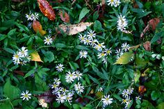 ユウガギク   学名  Kalimeris pinnatifida   撮影場所 広島県 三次市  撮影日 2010年10月12日
