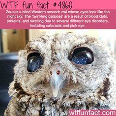 Zeus the blind screech owl - WTF fun facts Wow Facts, Wtf Fun Facts, Funny Facts, Random Facts, Beautiful Birds, Animals Beautiful, Beautiful Eyes, Beautiful Creatures, Bird Facts