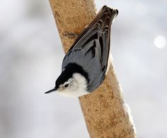 Winter white-breasted