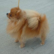 Google Image Result for http://upload.wikimedia.org/wikipedia/commons/thumb/6/6a/Pomeranian_600.jpg/220px-Pomeranian_600.jpg