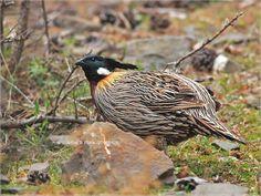 Pucrasia macrolopha - koklass pheasant