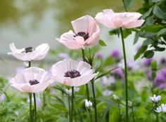 papaver orientale 'Karine' from Claus Dalby