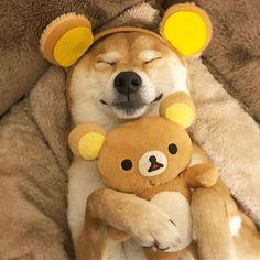Hug me! おやすみっくま #ブログも書いたん #見てね #柴犬 #shibainu #shiba #ilovemydog #ilovemydog #Regram via @minapple