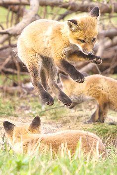 Red Fox Cubs by Wesley Liikane