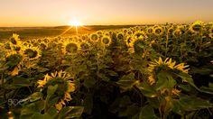 Sunflower field at sunrise - Sunflower field at sunrise