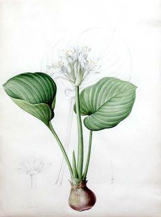 "Pierre-Joseph Redouté (1759-1840) Plate 384 - ""Pancratium amboinense"""