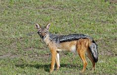 Tonys Photos: Black-backed Jackal I am pleased to report that my image of a black-backed jackal has been used in a new book, A Field Guide to the Larger Mammals of Tanzania (Princeton Field Guides)  The book has been produced by the  Wildlife Conservation Society and all the author royalties will go to the Society. It is now available to buy on Amazon