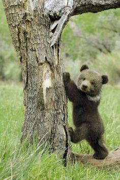 Baby bear 'bout to climb a tree