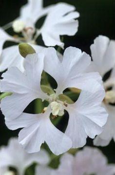 Clarkia pulchella 'Snowflake'