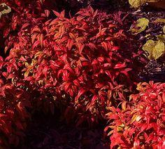 "Firepower Nandina ( Nandina domestica firepower). Full sun: 6+ hours direct sun. Dense, compact, evergreen shrub. Size: 24-36"" H x 24-36"" W. Growth rate: medium. Cold hardiness: 0 to -10 F. Pruning: little pruning required. Fertilization: early spring."