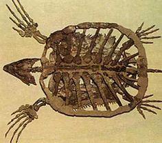 Fossile de Protostega gigas, une tortue marine. Elle possède de grandes nageoires mais une carapace peu développée.  Roger Lauret
