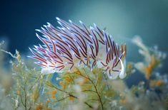 The nudibranch Cratena peregrina prefers to prey on hydroids who have recently eaten their fill of plankton. Rare Animals, Unique Animals, Animals Beautiful, Ocean Depth, Jewel Of The Seas, Beneath The Sea, Sea Snail, Sea Slug, Sea Dragon