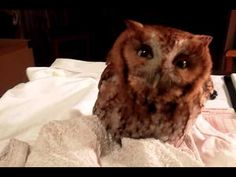 "▶ Screech Owl ""Baby Hoot"" - YouTube"