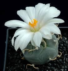 Картинки по запросу самые красивые цветущие кактусы