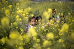 Palestinian girls pick wild mustard flowers which grow in fields across the Gaza Strip, March 20, 2015.