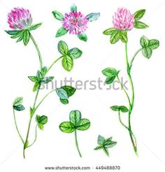 Watercolor red clover, shamrock wild field flower isolated on white background, botanical hand drawn illustration for design package tea, cosmetic, medicine, greeting card, wedding invitation, textile - stock photo