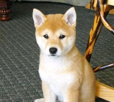 Shiba Inu Puppy! OMG I want him!