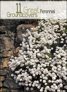 Looking for some great perennial ground cover? Check out these great suggestions for amazing ground cover that comes back every year.