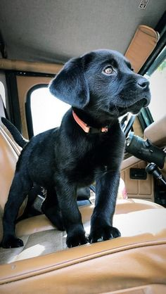 Mind Blowing Facts About Labrador Retrievers And Ideas. Amazing Facts About Labrador Retrievers And Ideas. Black Lab Puppies, Cute Dogs And Puppies, Doggies, Corgi Puppies, Black Puppy, Black Labs Dogs, Puppy Husky, Cute Animals Puppies, Really Cute Puppies
