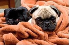 Knowing About Pug Care - http://weloveourpugs.net/knowing-about-pug-care/
