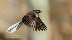 Fantail in Flight - Bushman Photos - Flight, Travel Destinations and Travel Ideas Beautiful Songs, Beautiful Birds, Beautiful Places, Famous Shop, Famous Beaches, Historical Monuments, Beaches In The World, Bird Drawings, Modern City