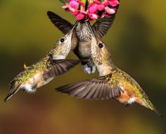 Since hummingbirds dont travel in flocks terms like charm shimmer or bouquet are used to describe these beautiful little fliers when seen together. Calliope Hummingbird and Rufous Hummingbird. Photo: Dan Tracy/Audubon Photography Awards