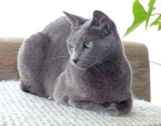Russisch Blauw Grey Cats, Blue Cats, Russian Blue Kitten, Animals And Pets, Cute Animals, Nebelung, Cat Whisperer, F2 Savannah Cat, Kinds Of Cats