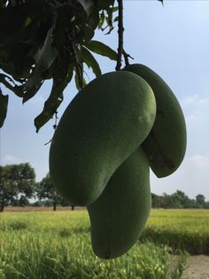 Mango Tree, Abundance, Gardens, Flowers, Nature, Plants, Beauty, Exotic, Naturaleza