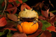 Surinam Horned Frog with a pumpkin