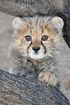 Animals And Pets, Cute Animals, Cheetahs, Africa, Cats, Nature, Beautiful, Funny Stuff, Random
