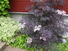 Anne Uibo: Must leeder 'Black Lace' naadi 'Variegata' ja valdsteinia vahel Sambucus Nigra Black Lace, Planters, Gardening, Purple, Ideas, Lawn And Garden, Plant, Window Boxes, Thoughts
