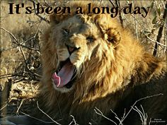 Kruger lion, been a long day Long Day, Lion, Animals, Pictures, Leo, Animales, Animaux, Lions, Animal