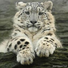"""demystifying facts about the snow leopard Also known as an """"ounce,"""" these beautiful big cats are one of the most elusive mammals in the world.Also known as an """"ounce,"""" these beautiful big cats are one of the most elusive mammals in the world. Pretty Cats, Beautiful Cats, Animals Beautiful, Big Cats, Cats And Kittens, Cute Cats, Cats Bus, Siamese Cats, Kittens Meowing"""