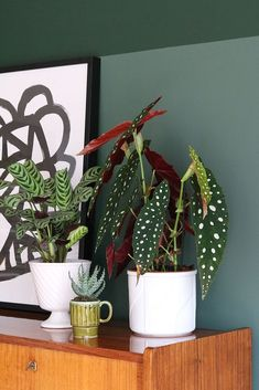 MY ATTIC / groene inspiratie / planten / plants / patterned plants / polkadot plant Photography: Marij Hessel