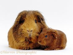 Red agouti guinea pig with baby