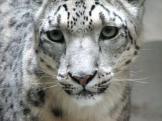 20 High Quality Images of the Snow Leopard