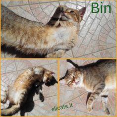 Calcoli renali nel gatto - Le terapie olistiche - http://elicats.it/calcoli-renali-nel-gatto/ #MALATTIEGATTIA-M