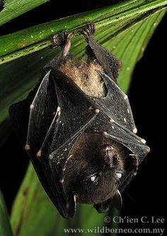 The Spotted-winged Fruit Bat is the smallest fruit bat species in the world. It typically roosts in the crowns of tall palms and epiphytic vegetation, but has also been known to excavate roost cavities in termite nests.