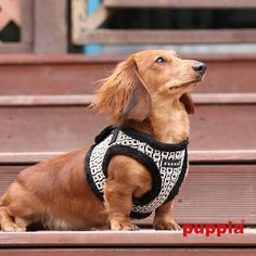"""Authentic PUPPIA """"Damier Geo Square"""" Choke-free,Step-in Vest Harness Jacket in Black/White. Shown on Dachshund Dog"""
