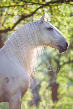 Lipizzan by Carina Maiwald All The Pretty Horses, Beautiful Horses, Animals Beautiful, Cute Animals, Horse Photos, Horse Pictures, Campolina, Lipizzan, Zebras